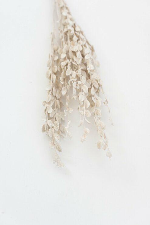 Fibigia weiss getrocknet Trockenblumen online