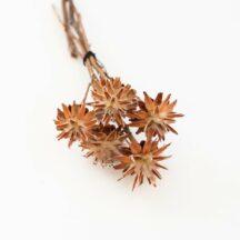 Leucospernum getrocknet Trockenblumen online
