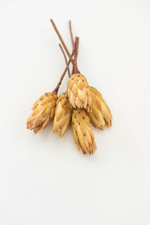 Protea Repens Stiele Trockenblumen online