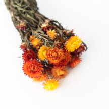 Helichrysum orange getrocknet