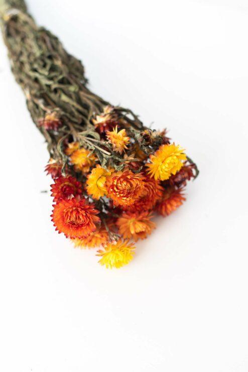 Helichrysum orange getrocknet