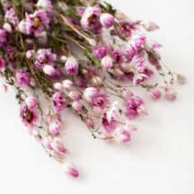 Rodanthe rosa getrocknet Trockenblumen