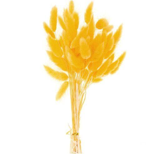 getrockneter Lagurus gelb
