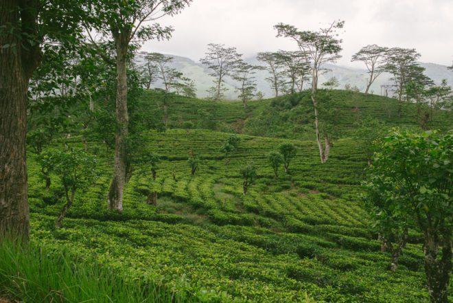 Teeplantage Hochland Sri Lanka